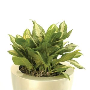 An example of an excellent low-light office plant, aglaonema 'pattaya beauty'