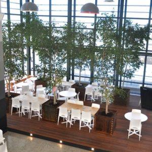 Indoor restaurant display of a Ficus Benjamina plant, an excellent medium-light office plant