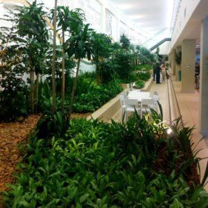 Our top medium-light office plant, Dracaena Fragrans 'Massangeana', in a beautiful indoor garden